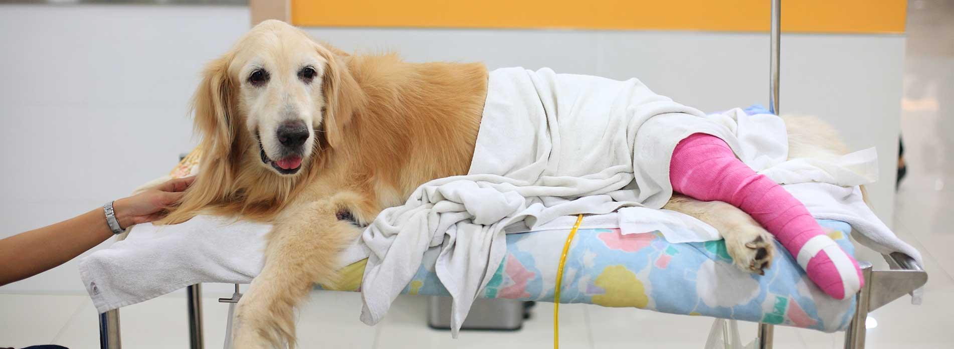 dog broken leg